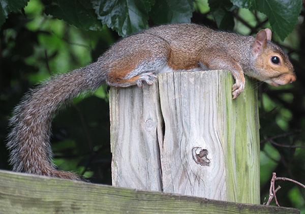 Eastern gray squirrel cooling
