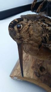 American Woodcock specimen