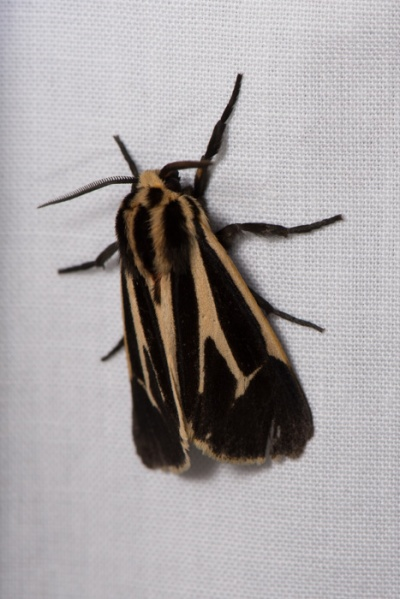 Banded tiger moth