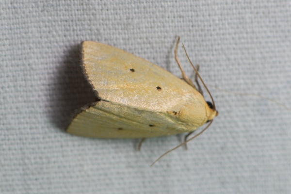 Black bordered lemon moth