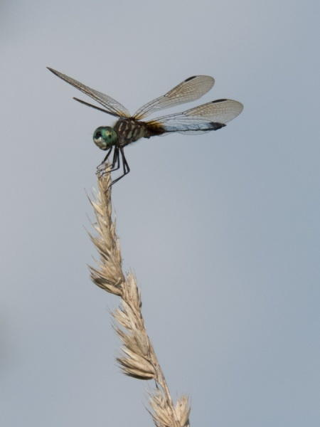 Blue dasher on perch