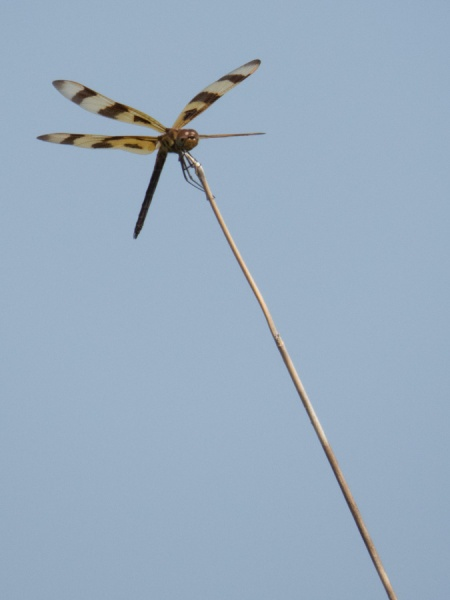 Halloween Pennant on perch