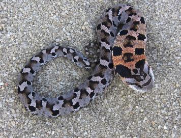 Eastern hognose snake puffing up its neck. Photo courtesy of Jeff Beane.