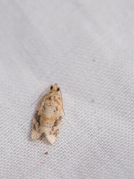Leafroller moth