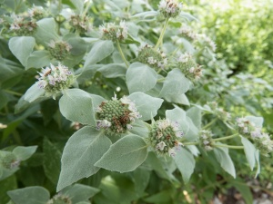 Mountain Mint flowers