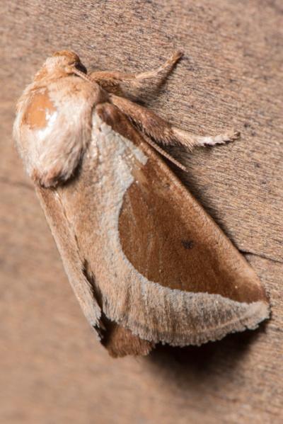 Skiff moth