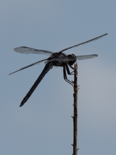Slaty Skimmer on perch