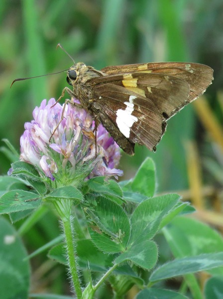 Silver-spotted Skipper.  Photo by Chris Goforth.