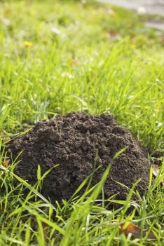 A molehill shows where a mole has been.