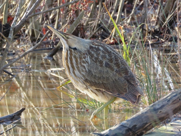 Bittern standing in the pond