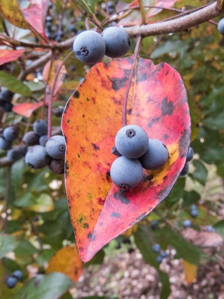 Blackgum berries.  Photo by Chris Goforth.