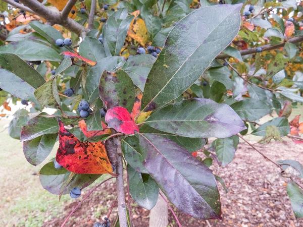 Blackgum leaf cluster.  Photo by Chris Goforth.