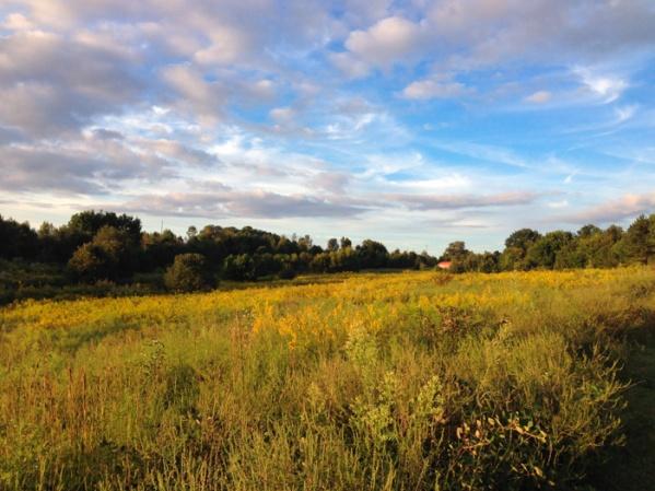 Goldenrod in back prairie
