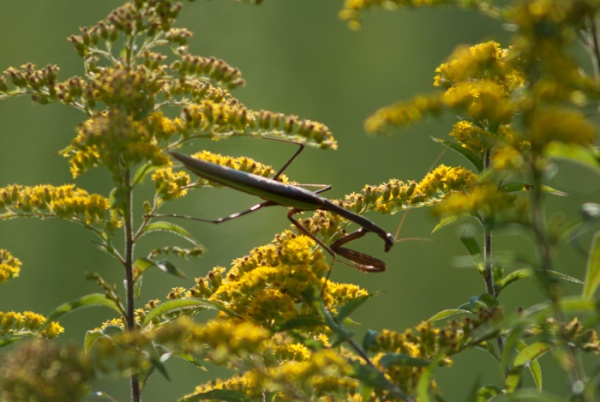 goldenrod with mantid