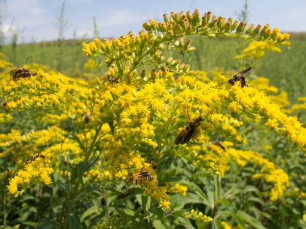 goldenrod with pollinators