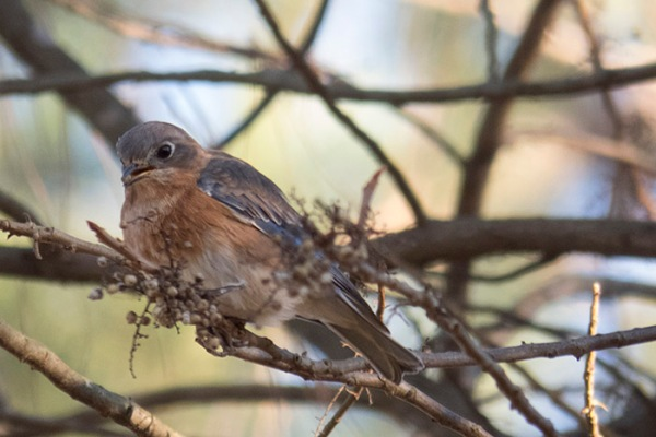 Poison Ivy with Eastern Bluebird