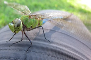 Common Green Darner