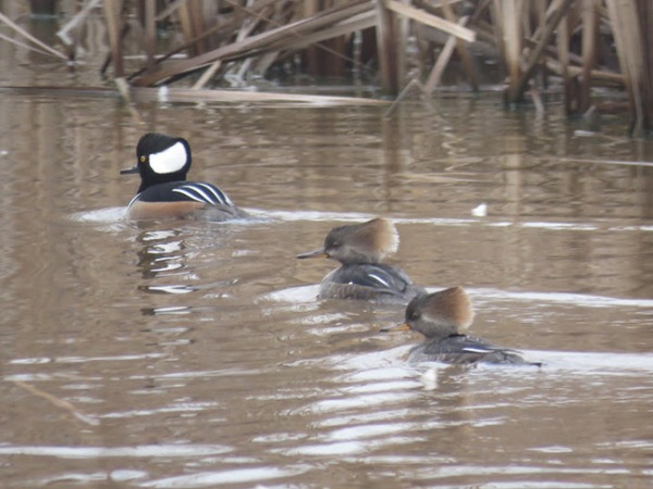 Hooded Mergansers - one male and two females