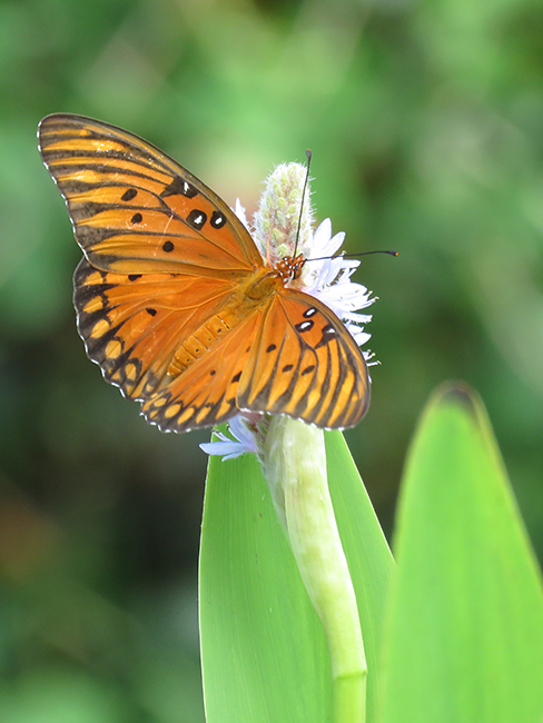 Gulf Fritillary. Photo by Chris Goforth.