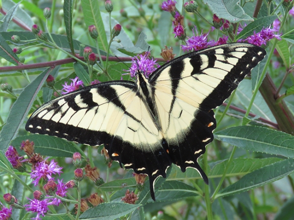 Eastern Tiger Swallowtail. Photo by Chris Goforth.