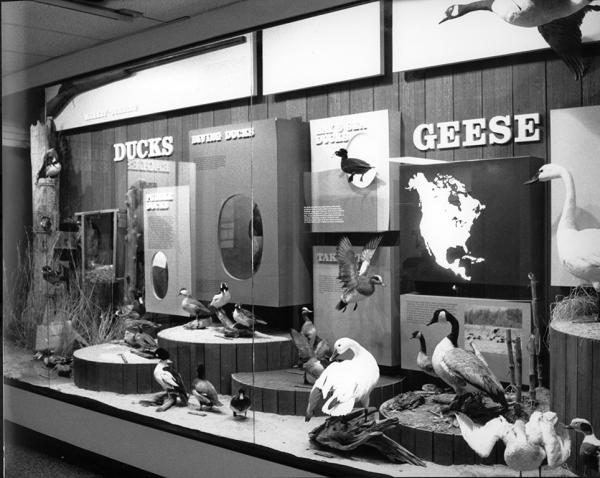 Bird hall exhibit. Note the 8-foot market gun in the upper left. (NCMNS/Danny Lyons)