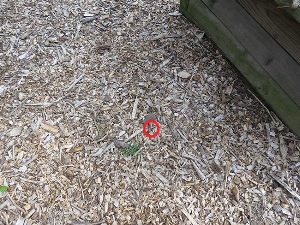 Pipevine sprout highlighted in mulch