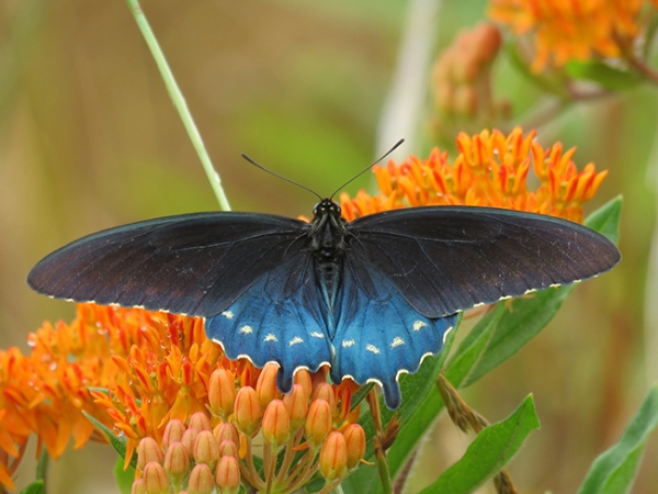 pipevine swallowtail adult