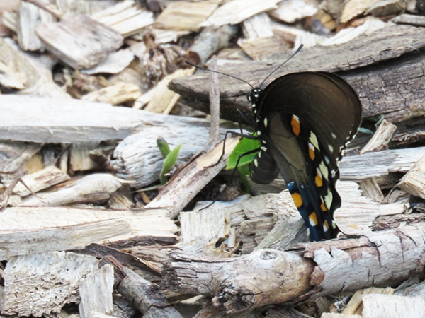 Pipevine Swallowtail laying