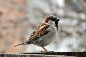 House sparrow adult