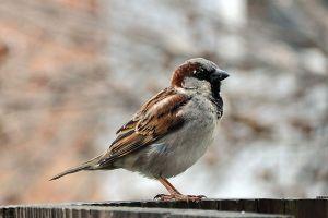 House sparrow adult