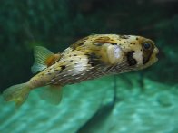 Long-spined porcupinefish. Photo by Kathryn Rende.
