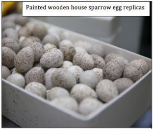 House sparrow egg replicas