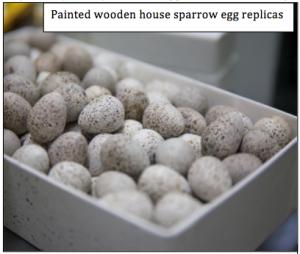 House sparrow egg replicas