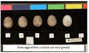 Variation in house sparrow eggs
