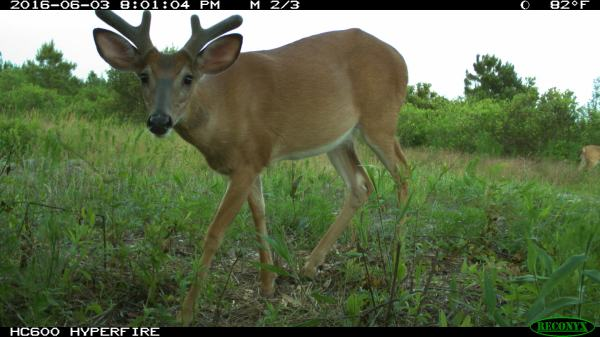 A white-tailed deer, Odocoileus virginianus, gets candid with a camera in Jones County, North Carolina. Image captured by NC Candid Critters camera trap volunteer HofmannFor_4.