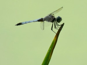 Dragonfly before eclipse