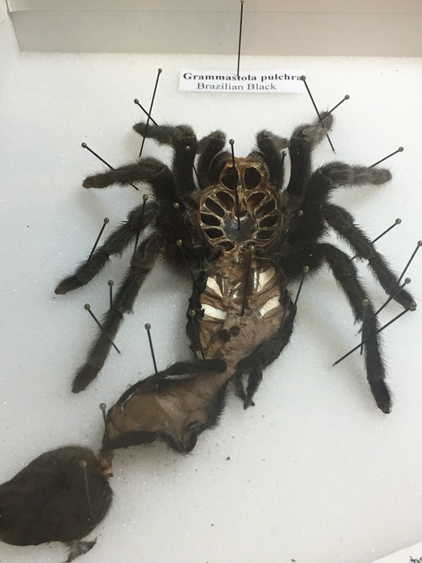 A 2015 molt from the Brazilian black tarantula that resides in the Museum's Living Conservatory.
