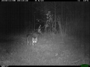 fox camera trap image