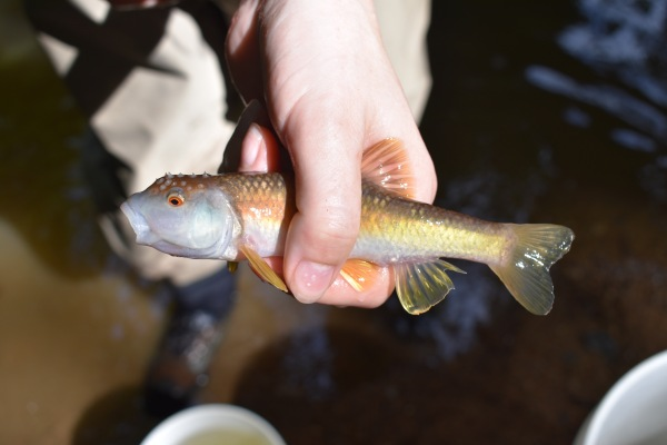 The only bluehead chub we were able to find that morning.