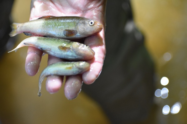 Creek chubs found in the stream (male, female, juvenile from top to bottom)