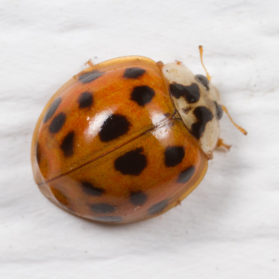 ladybug species photos