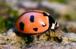 nine spotted ladybug