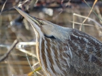 American Bittern. Photo by Chris Goforth.
