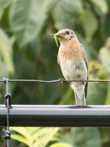 Northern Bluebird