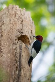 Red-headed Woodpecker