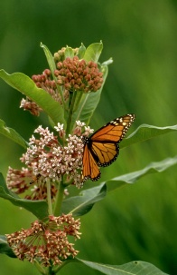 Monarch on common milkweed. Photo: US Fish and Wildlife Service.
