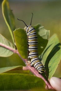 Monarch caterpillar munching on milkweed. Photo: Mike Dunn.