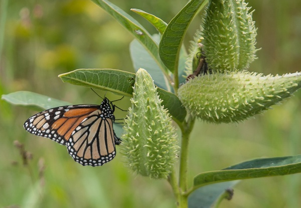 Monarch about to lay egg on common milkweed. Photo: Mike Dunn.