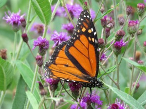 Monarch male sitting on Ironweed.